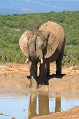 african elephant using its trunk to splash muddy water over its skin poster