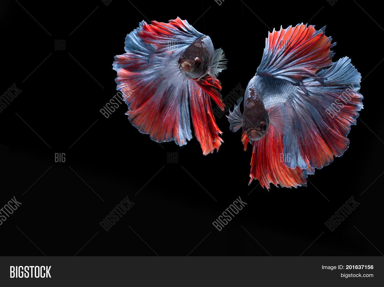 Double Colorful Betta Fish, Siamese Image & Photo | Bigstock