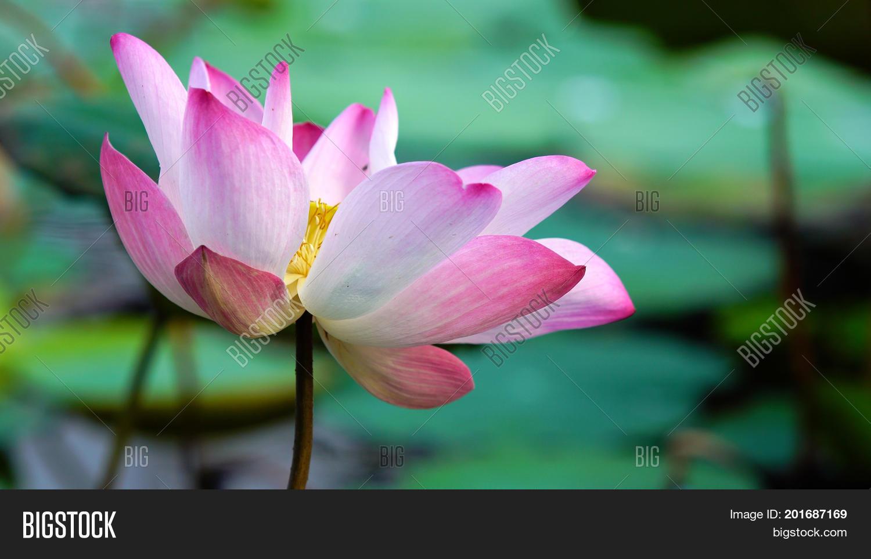 Pink bloom lotus flower water pond image photo bigstock pink bloom lotus flower in water pond garden decoration lotus used to worship izmirmasajfo