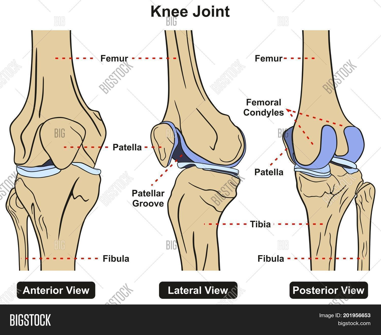 Knee Joint Human Body Image Photo Free Trial Bigstock