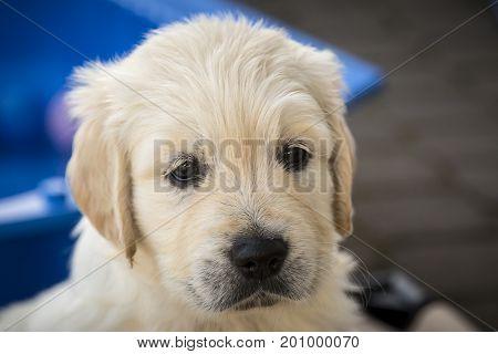 Cute blonde  Golden Retriever Puppy outdoor shot.
