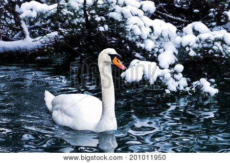 Swan on a lake in winter alpen environment, Bled, slovenian alps, Slovenia