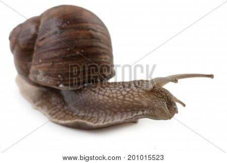 Grape Snail Isolated On A White Background, Close Up.