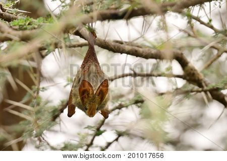 Egyptian Slit-Faced Bat (Nycteris thebaica) hanging on branch