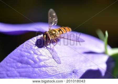 Close up study of Episyrphus Balteatus or the Marmalade Hoverfly resting on a flower petal
