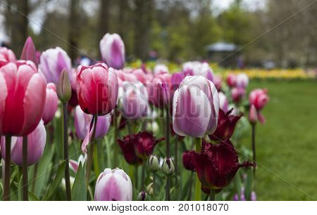 Dutch flowers garden with various types of Triumph Tulips and Red Wing Fringed Tulips.