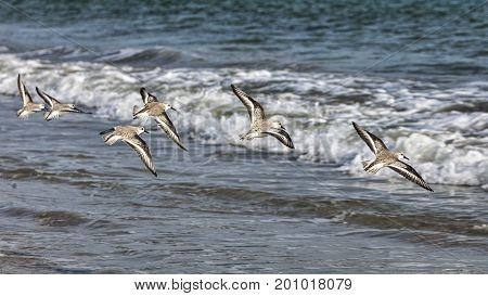 A group of Semipalmated Sandpipers (Calidris pusilla) flying above the waters in Brittany in the western Europe. Such shorebirds called peeps or stints are very rare vagrants in western Europe.