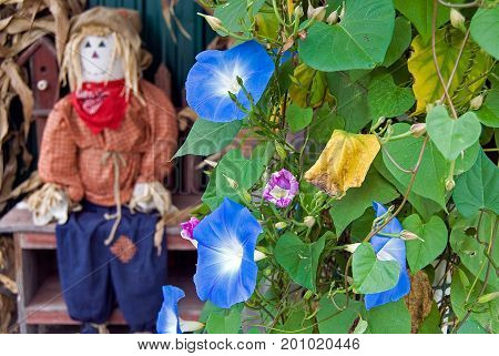 autumn scarecrow on bench with morning glory flower