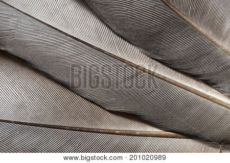 The gray feather texture close up as background