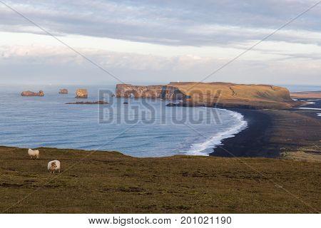 Icelandic Sheep Pasture Above Black Kirkjufjara Beach In Southern Iceland. Idyllic Pastoral Country