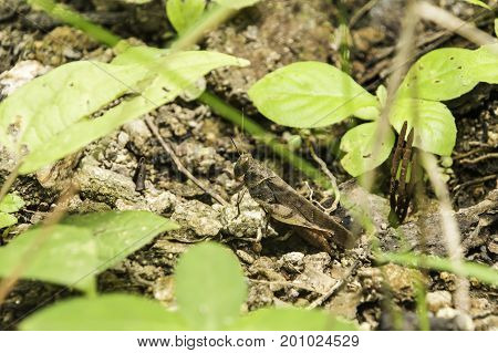 Grasshopper in the rainforest understory in the forest