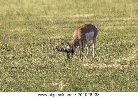 Pronghorn antelope buck feeding in a hay field