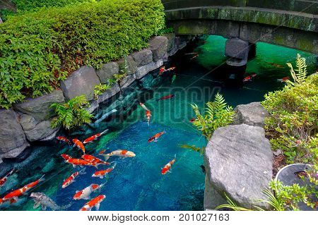 Beautiful koi fish swimming in pong in a small river, pond surrounded by green shrubs in Japanese garden Asakusa Kannon Temple in Tokyo, Japan.