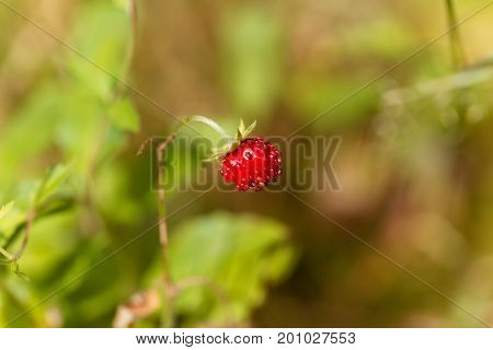 Fruit of a wild strawberry (Fragaria vesca)