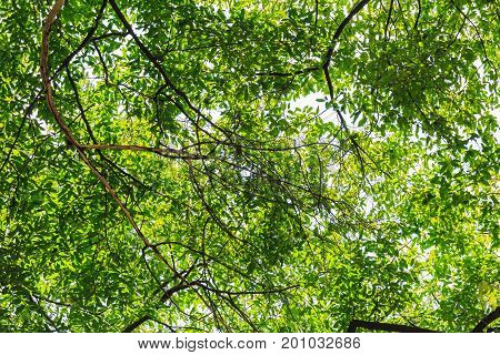 A beautiful Tree leaves sprawling providing shade in summer.