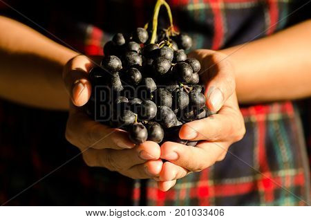 Seedless red grapes fruit  hold by hand