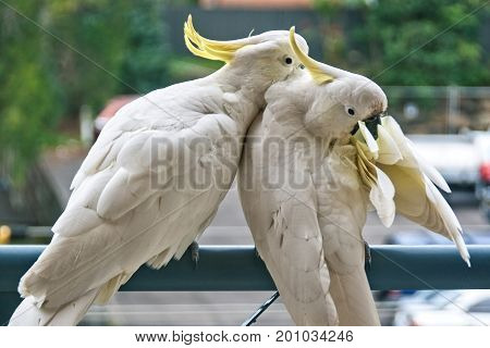 Two amorous Australian Sulphur Crested Cockatoos flirting close-up walking on a balcony rail with their crests on display. (Photo Series). Gosford New South Wales Australia.