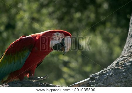 the scarlet macaw is resting on a tree branch