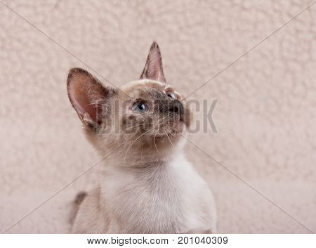 Adorable tortie point Siamese kitten, looking up to the right of the viewer