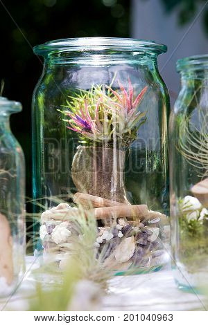 Tillandsia ionantha with blossoms plantet on wood in a decorative jar.