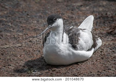 A close up study of an avocet sitting on the ground looking left and showing the curved beak