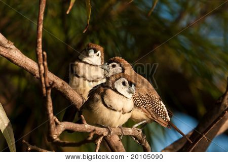 Double-barred finch flock
