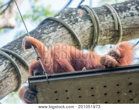 A female of the orangutan with a cub in the zoo.