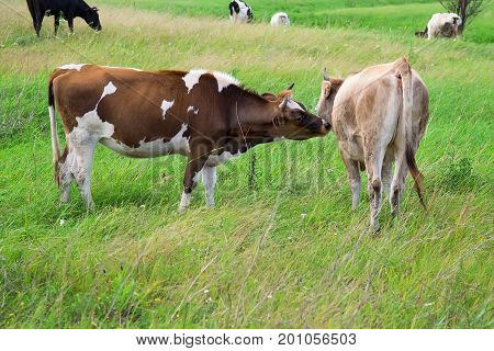Mother cow licking her calf with green pastureland in the background.