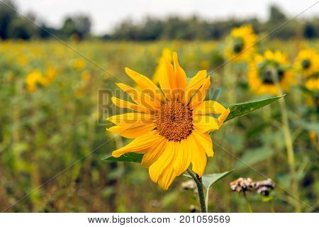 Closeup of a sunflower yellow blooming in a field edge in a Dutch nature area on a sunny day in the summer season.