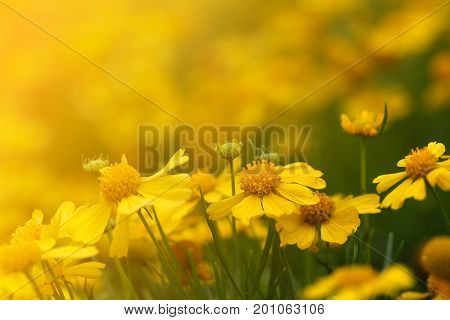 Yellow Aster flower (Callistephus chinensis) with sunlight in the morning. Selective focus.