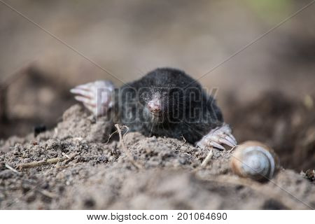 A curious mole sticking his nouse out in the light in garden. Shallow depth of field portrait of a mole.