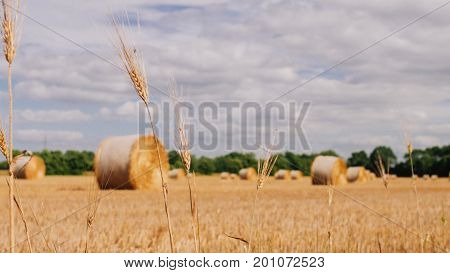 Bales of hay in a wheat field. Bales of hay rolled and ready to be packed in a farmers field in Summer.