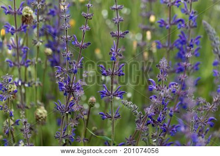 Meadow sage flowers (Salvia pratensis) in a meadow.