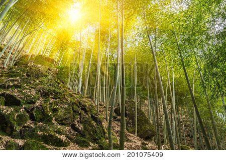 Bamboo forest in Yixing city,Jiangsu province,China .