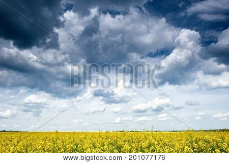 rapeseed yellow flower field in spring season, beautiful landscape