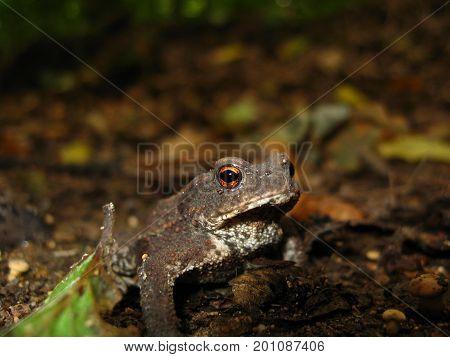 Excavation frog on a dark, blurred forest background