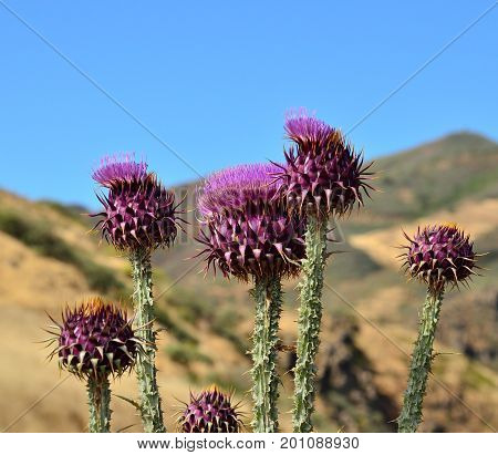 Onopordum carduelium, endemic wild thistles of Gran canaria, Canary islands