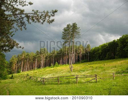 A tree in a clearing of a pine forest amid thunderstorms