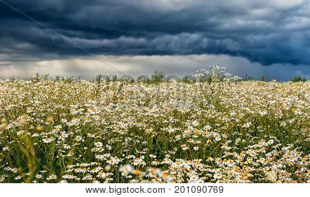 Field of flowers of chamomile in the background dramatic stormy rainy sky on a summer day. The horizontal frame.