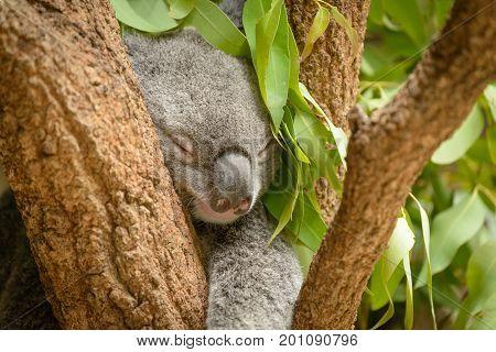 A cute young koala sleeping in a tree.