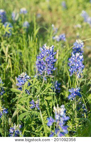 Bluebonnet flower close-up flower in Texas USA
