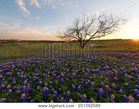 Bluebonnet flowers blooming in Irving Texas, USA