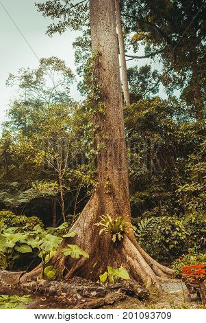 A Huge Tree In The Jungle. Nature Rain Forest. Tropical Rainforest Landscape. Malaysia, Borneo, Saba