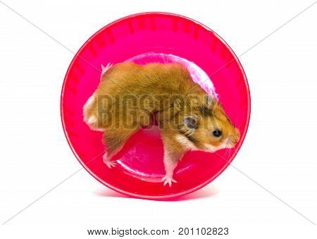 Funny exhausted Syrian hamster in a funny pose in a bright pink hamster wheel (isolated on white)