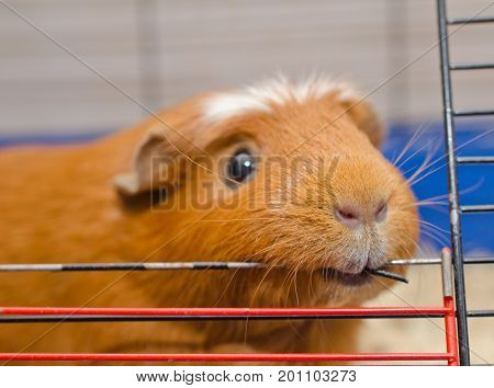 Funny guinea pig chewing on the bars of its cage (selective focus on the guinea pig nose and mouth)