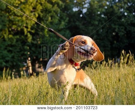 Stubborn beagle puppy (in a funny pose) misbehaving and pulling its leash with its teeth