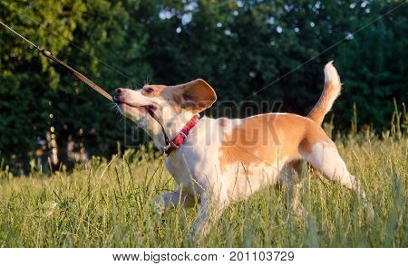 Playful beagle puppy running and pulling its leash with its teeth
