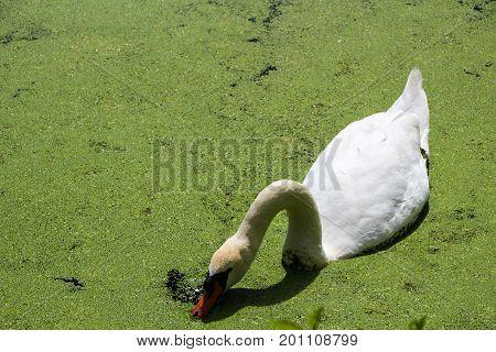 White swan swimming and eating duckweed in lake.