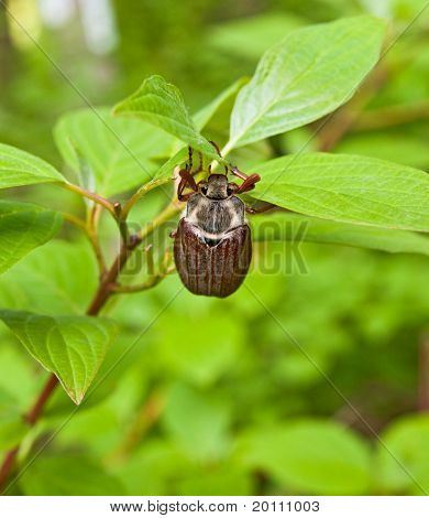 Large Chafer