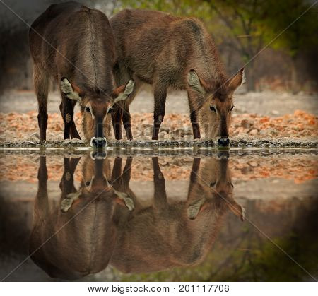 Two Female Waterbucks ( Kobus ellipsiprymnus) with their heads down taking a drink from camp waterhole with water reflection. Taken from a low angle with natural bushveld background Ongava Etosha Namibia